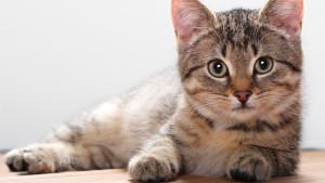 Иммунитет кошки: мифы и реальность