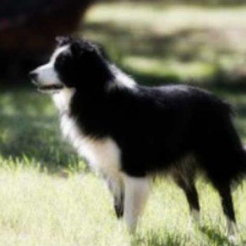 Какие породы собак самые умные?