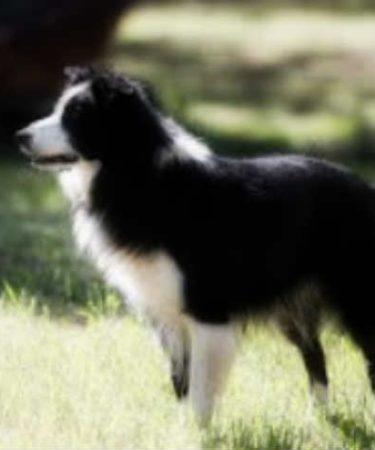 Какие породы собак самые умные